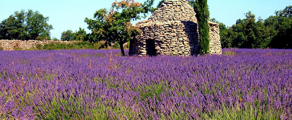 Borie im Lavendelfeld